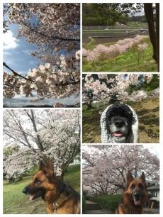 16桜まとめ