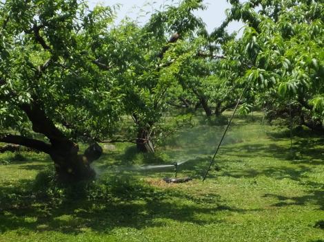 果樹園のスプリンクラー散水風景