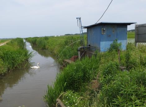 新木新田の揚水機場と白鳥
