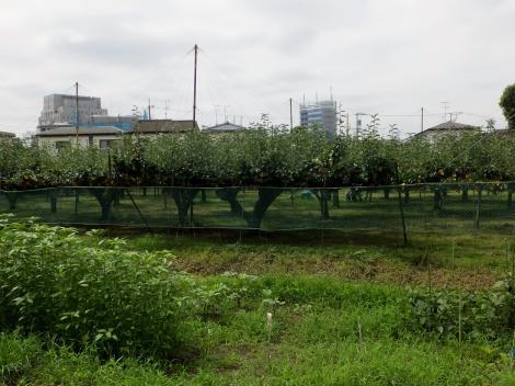 二ヶ領用水・大堀付近の梨畑
