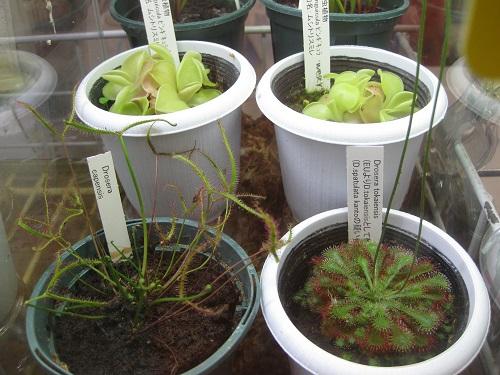 食虫植物5