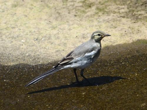 ハクセキレイ(幼鳥) 2 _3406