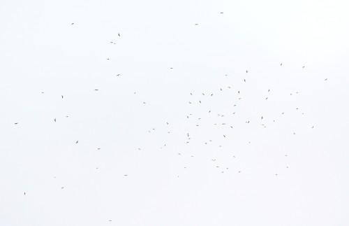 サシバ 群れ 8 _3974
