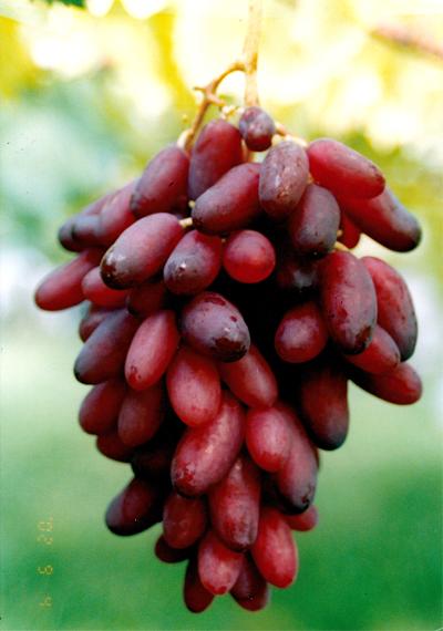 2016 ブドウの種類 マニキュアフィンガー