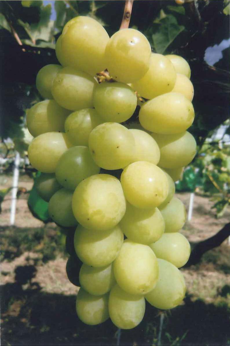 2016 ブドウの種類 シャインマスカット