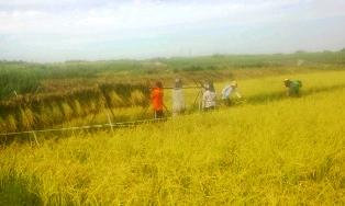 サリー稲刈り