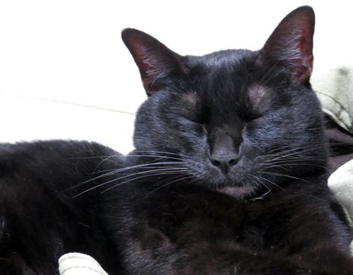 目を閉じた黒猫