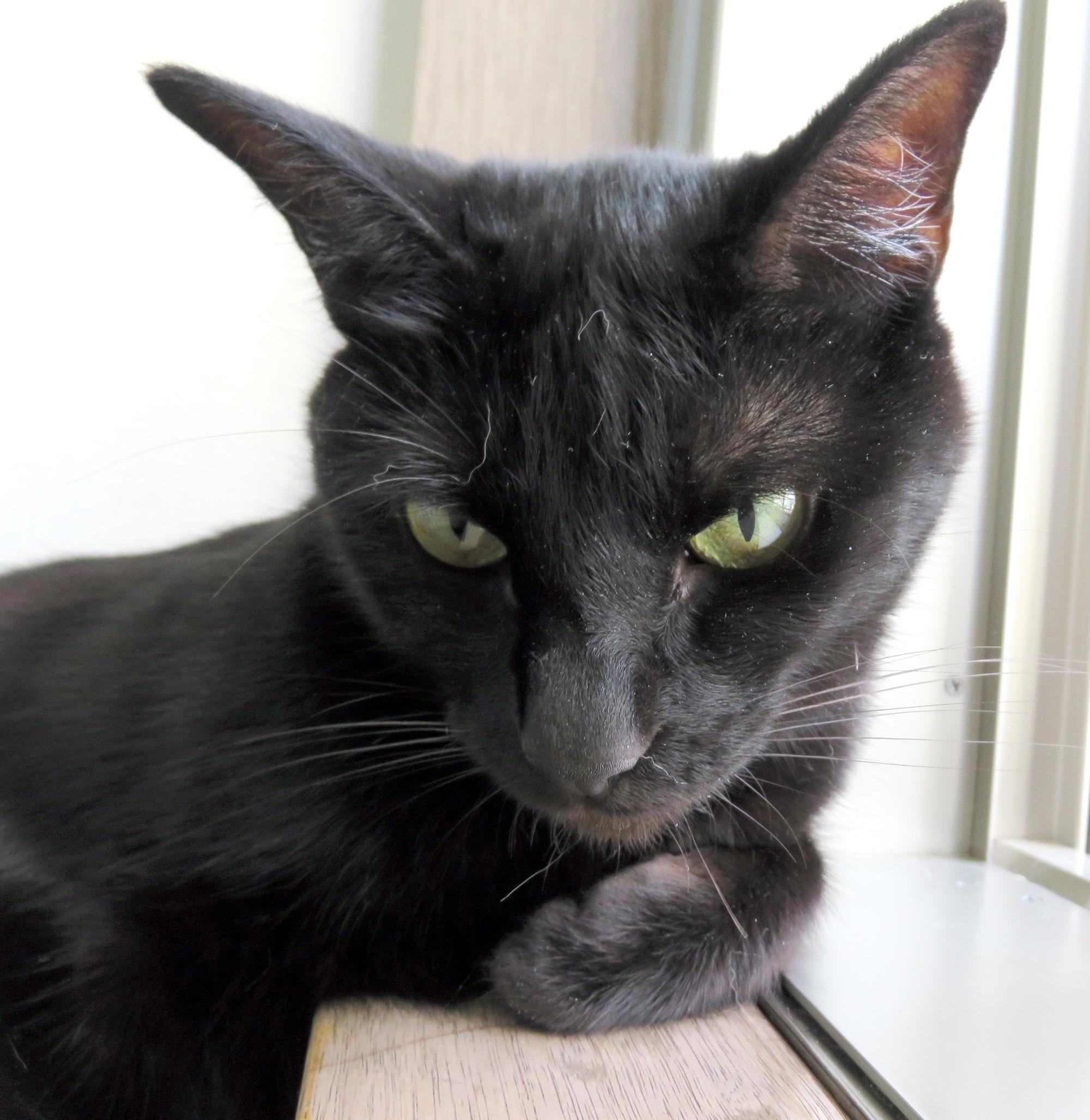 黒猫チョコ顔アップ