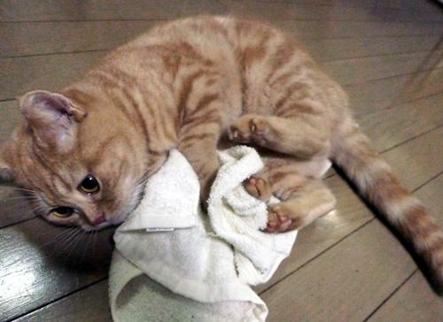 またたびタオルにしがみつくきなこ
