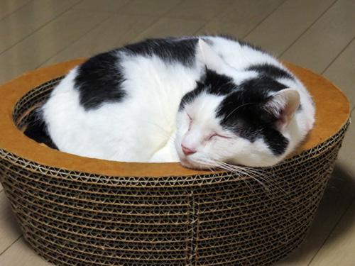 丸い猫ベッドで寝るちっぷ