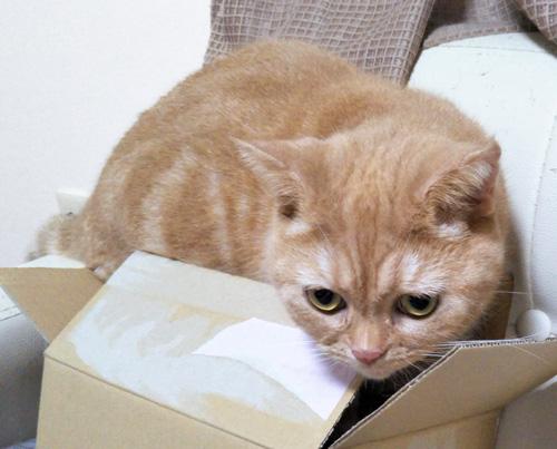 箱に入ろうとするきなこ