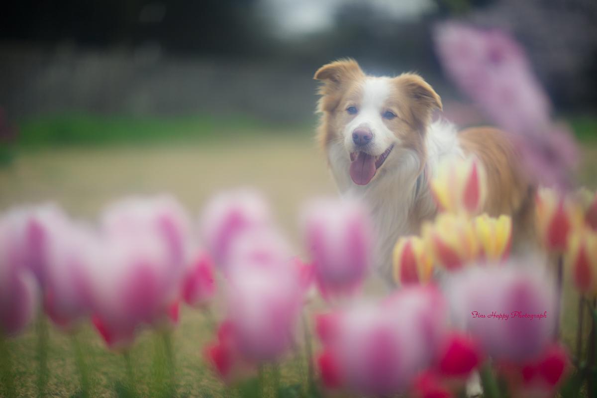 チューリップ花盛り