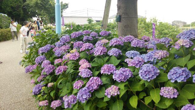 紫陽花祭り⑥