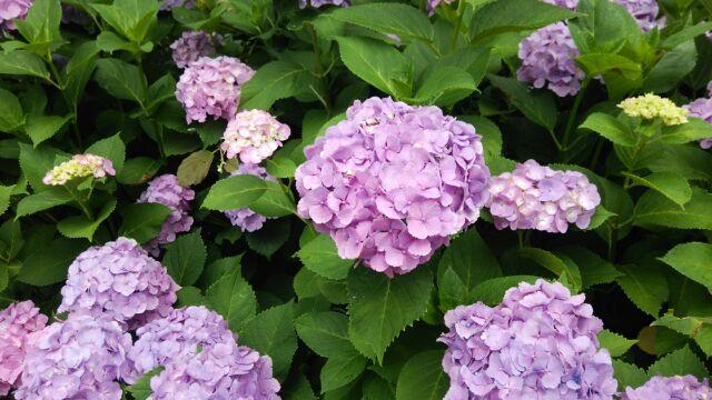 紫陽花祭り⑧