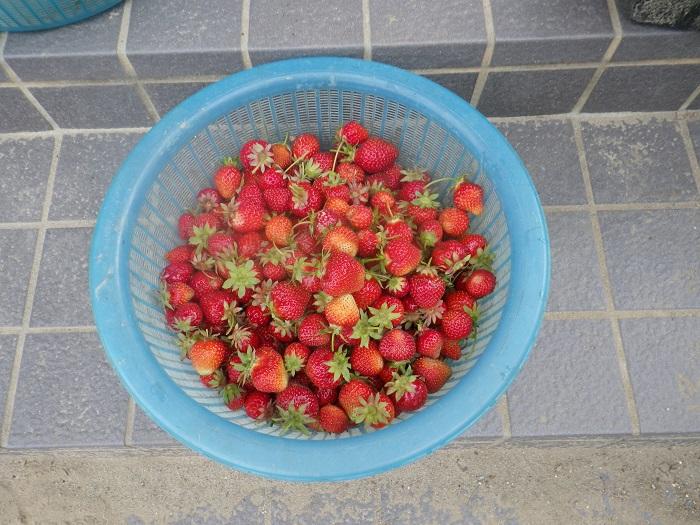 収穫2_16_05_15