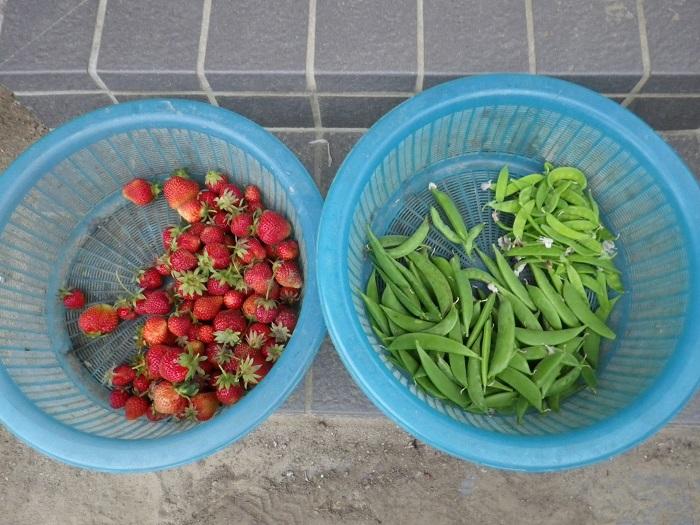 収穫16_05_16