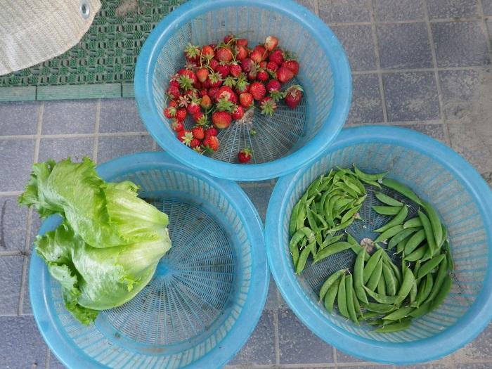 収穫16_05_18