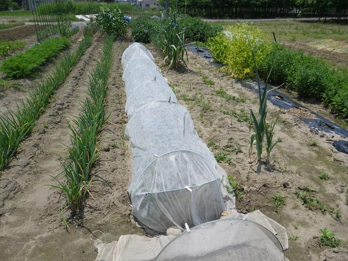 小物野菜の畝1_1_16_05_22