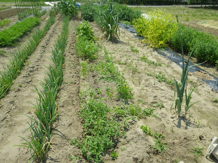 小物野菜の畝1_2_16_05_22