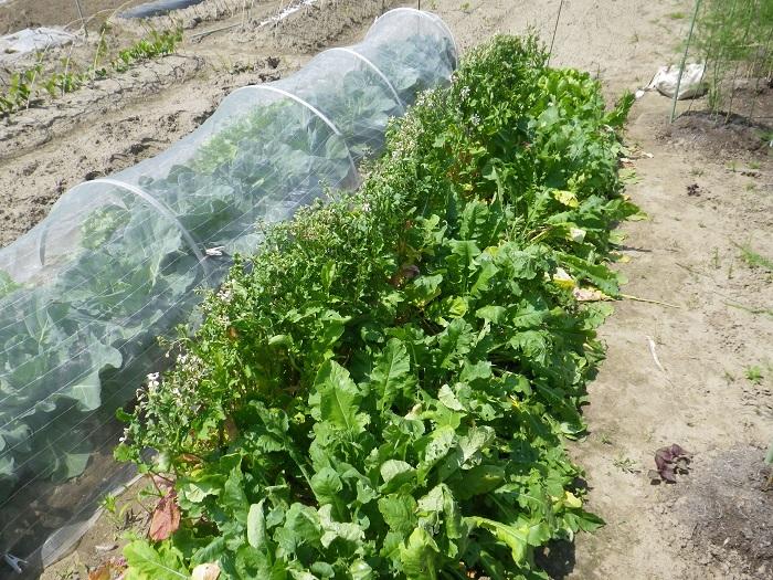 小物野菜の畝2_2_16_05_22