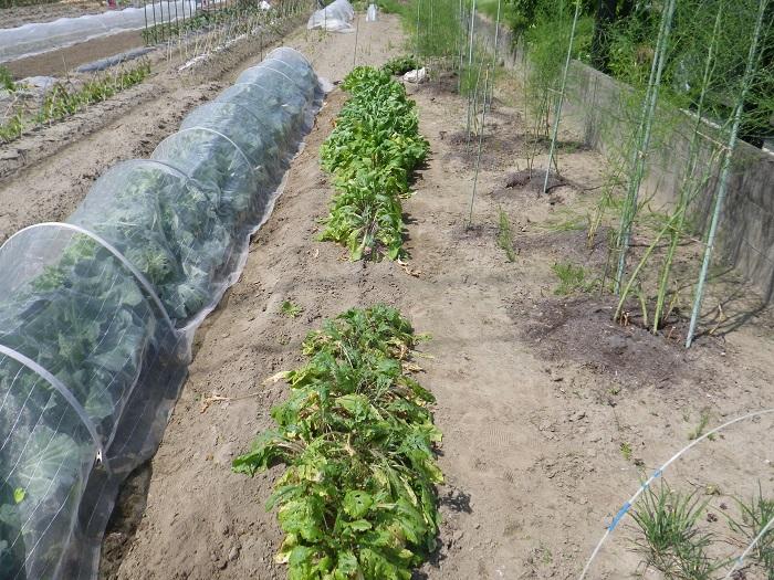 小物野菜の畝2_3_16_05_22