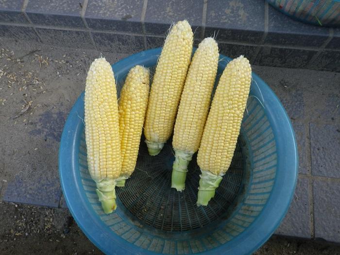 収穫2_16_06_11