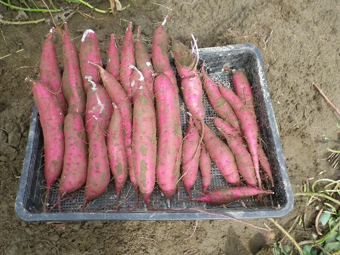 収穫1_16_09_19