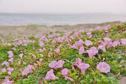 5-12浜昼顔②