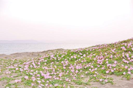 5-12浜昼顔⑥