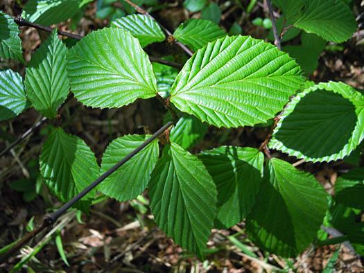ミヤマガマズミの葉。