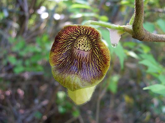 タンザワウマノスズクサの花。