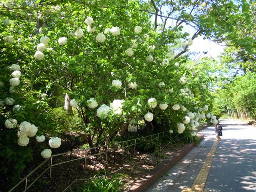 写真:ムーシューチューの花1。