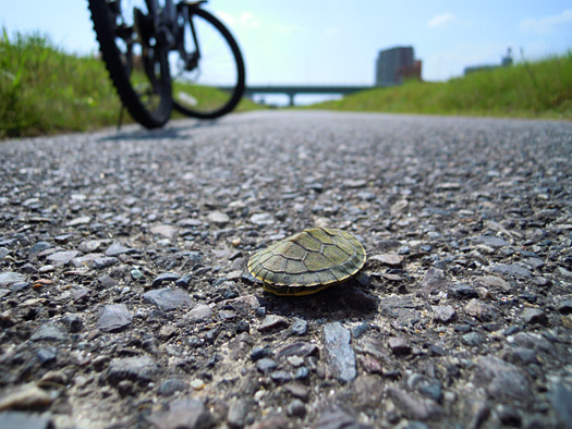 サイクリングロードのミドリガメ。