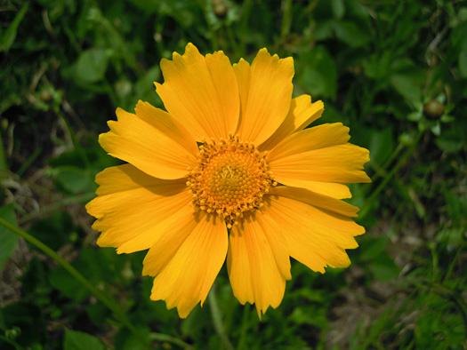 オオキンケイギクの花。