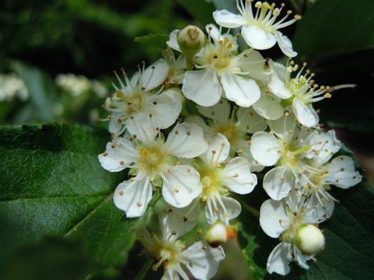 ウシコロシの花。