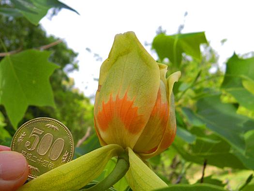 ユリノキの花の大きさ。