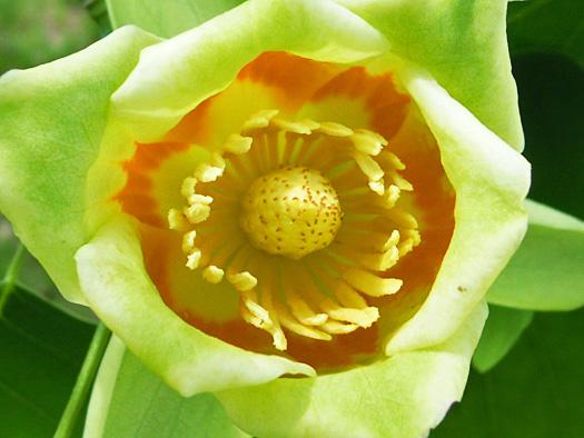ユリノキの花(真上から)。