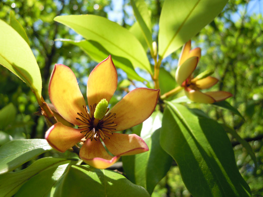 カラタネオガタマの花。