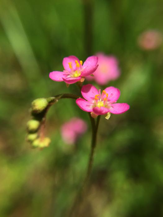 写真:トウカイコモウセンゴケの花のアップ1。