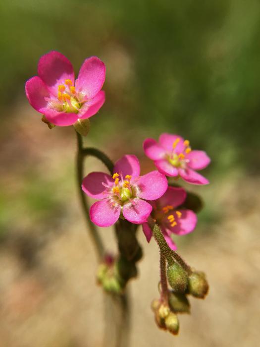 写真:トウカイコモウセンゴケの花のアップ2。