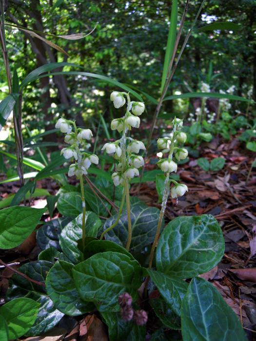 写真:イチヤクソウの花。