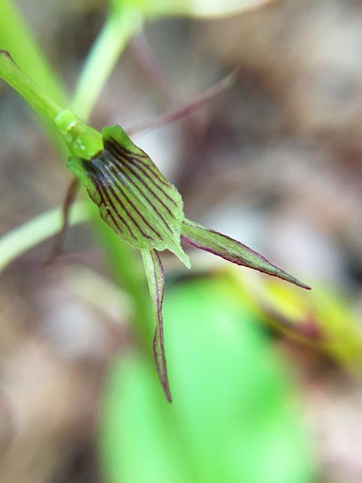 写真:ジガバチソウの花のアップ。