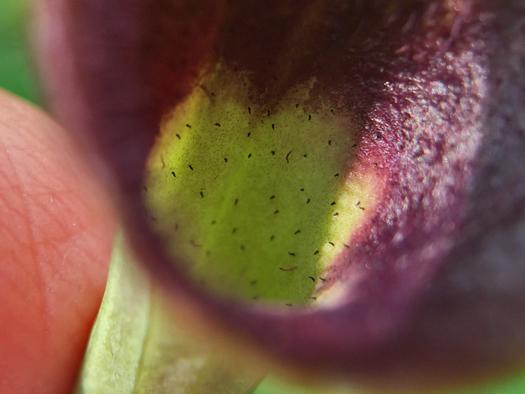 写真:ウマノスズクサの花の中。
