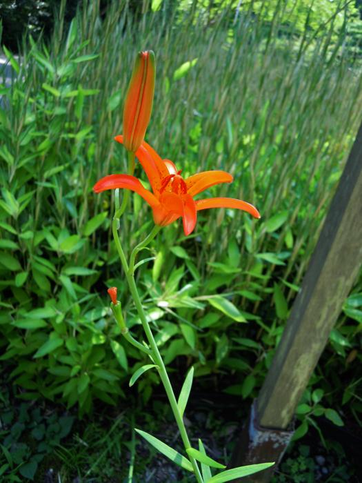 ヒメユリの花。