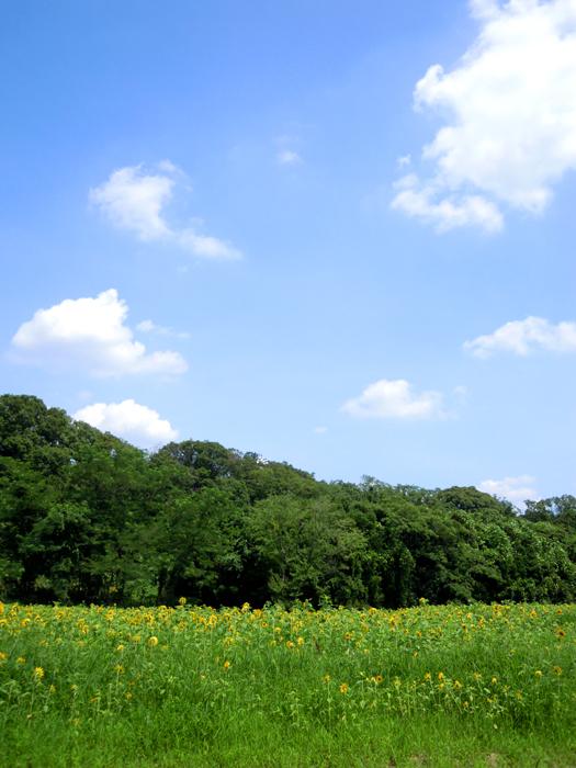 写真:ひまわり畑。