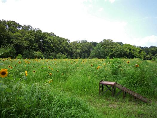 写真:ヒマワリ畑中央の台。