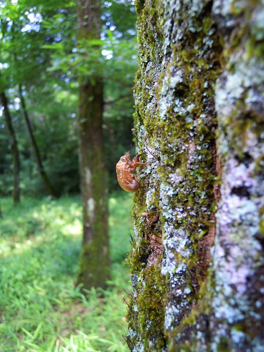 写真:ニイニイゼミの抜け殻。