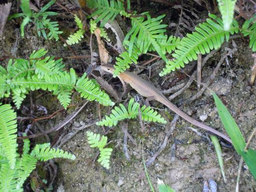 写真:お腹の大きいニホンカナヘビ。