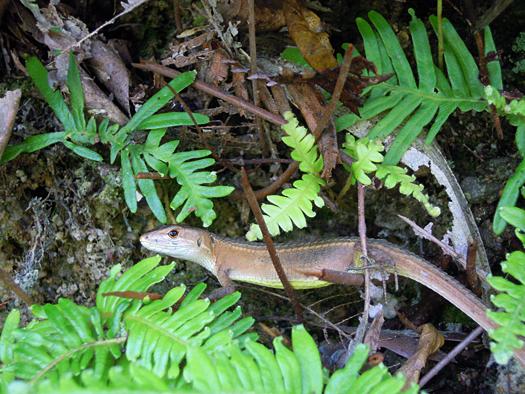 写真:カメラ目線のニホンカナヘビ。