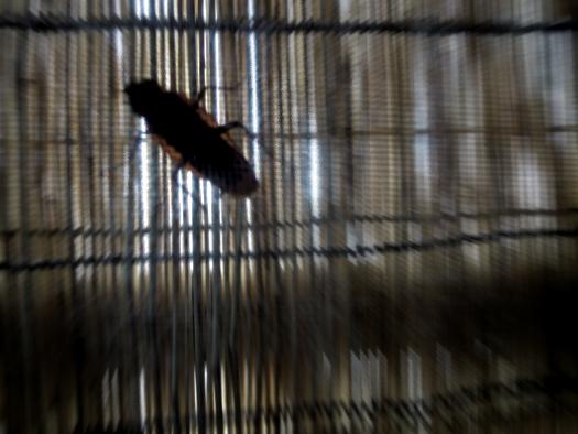 ゴキブリ。